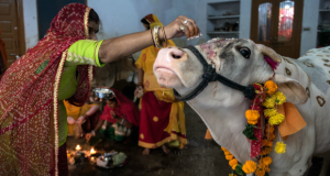 Sprinkling Yoghurt paste on Cow's Forehead